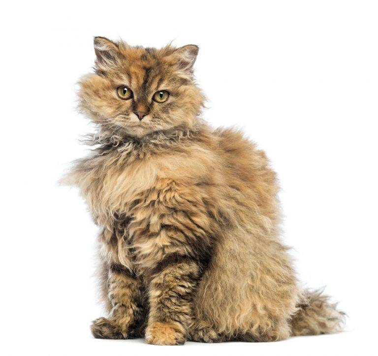 Селкирк рекс: описание породы кошек, характер, отзывы (с фото и видео)