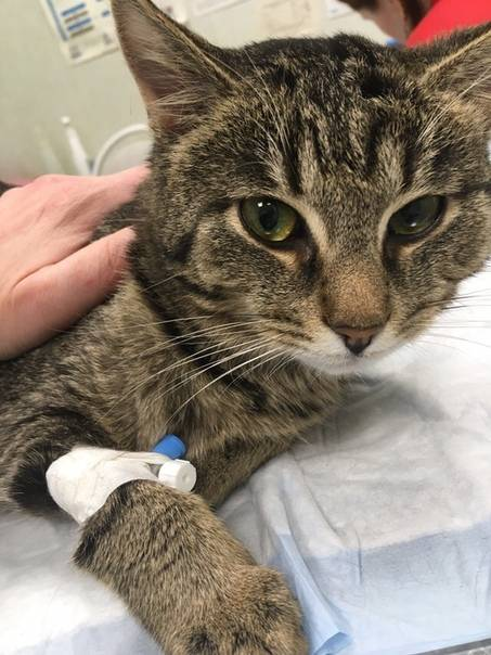 Злокачественные новообразования, индуцируемые вирусом лейкоза кошек - ветеринарная клиника ситивет
