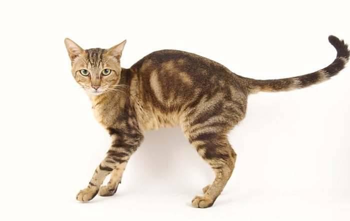 Сококе: описание породы кошек, особенности содержания и выбор клички
