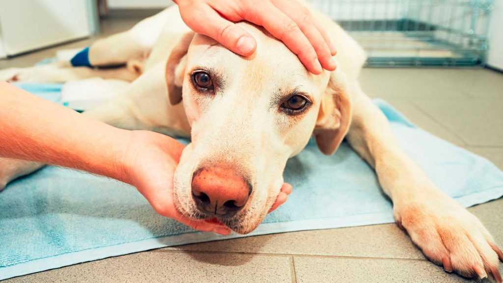Пироплазмоз или бабезиоз у собак: заражение и лечение заболевания