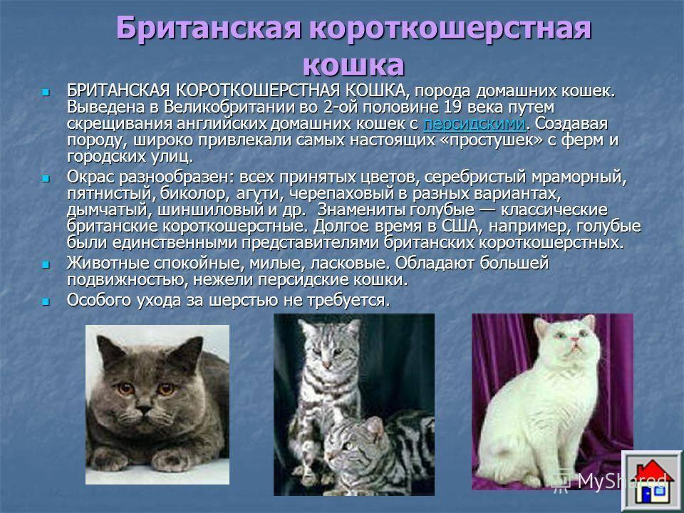 Рыжие сибирские кошки: характеристика породы и содержание