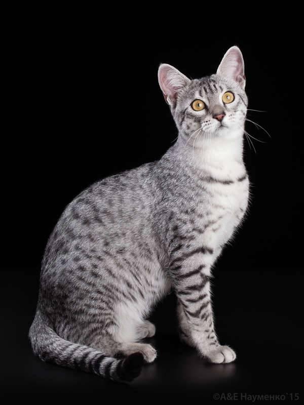 Египетская мау - 120 фото шикарного вида кошек, полный обзор!