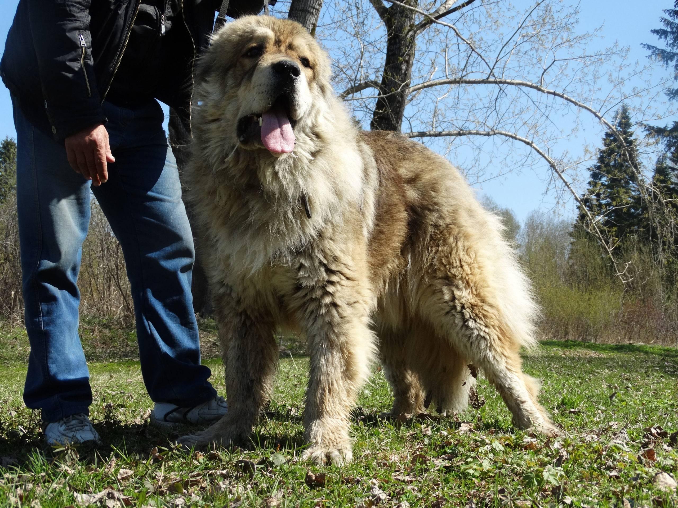 Ирландский волкодав — описание породы, характер, интеллект, уход и содержание