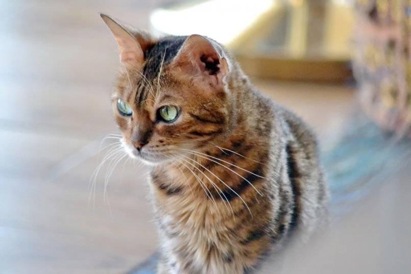 Аравийский мау: особенности породы, внешний вид и характер кошки, уход и содержания питомца