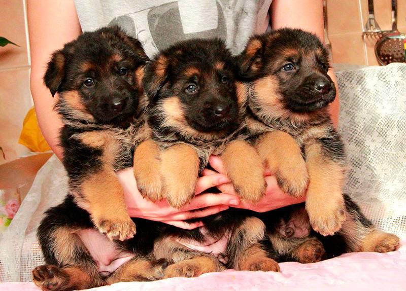 Кличка для немецкой овчарки – выбираем имя для собаки