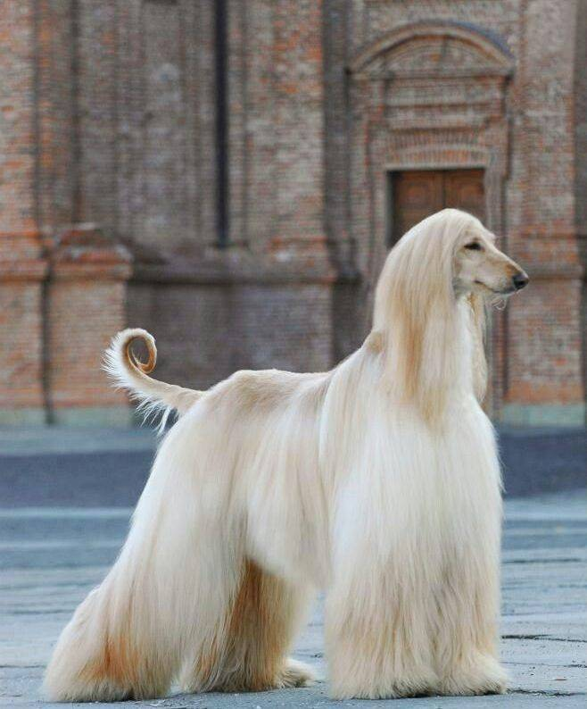 Самые красивые породы собак - топ 10 с фото