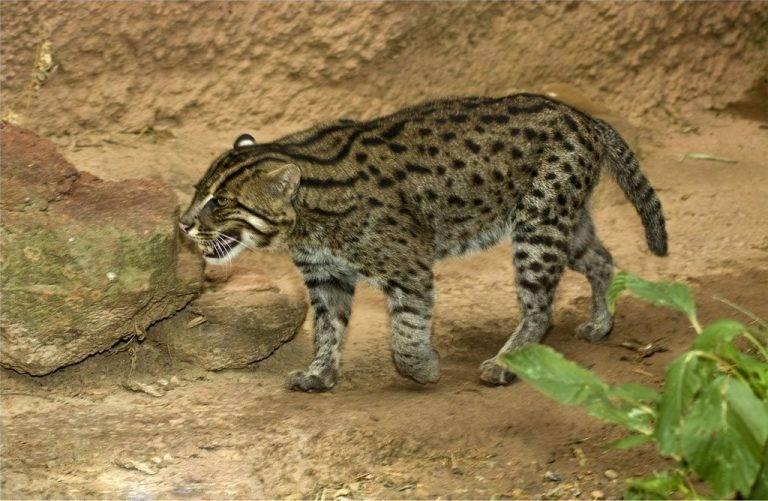 Виверровый кот-рыболов — описание породы