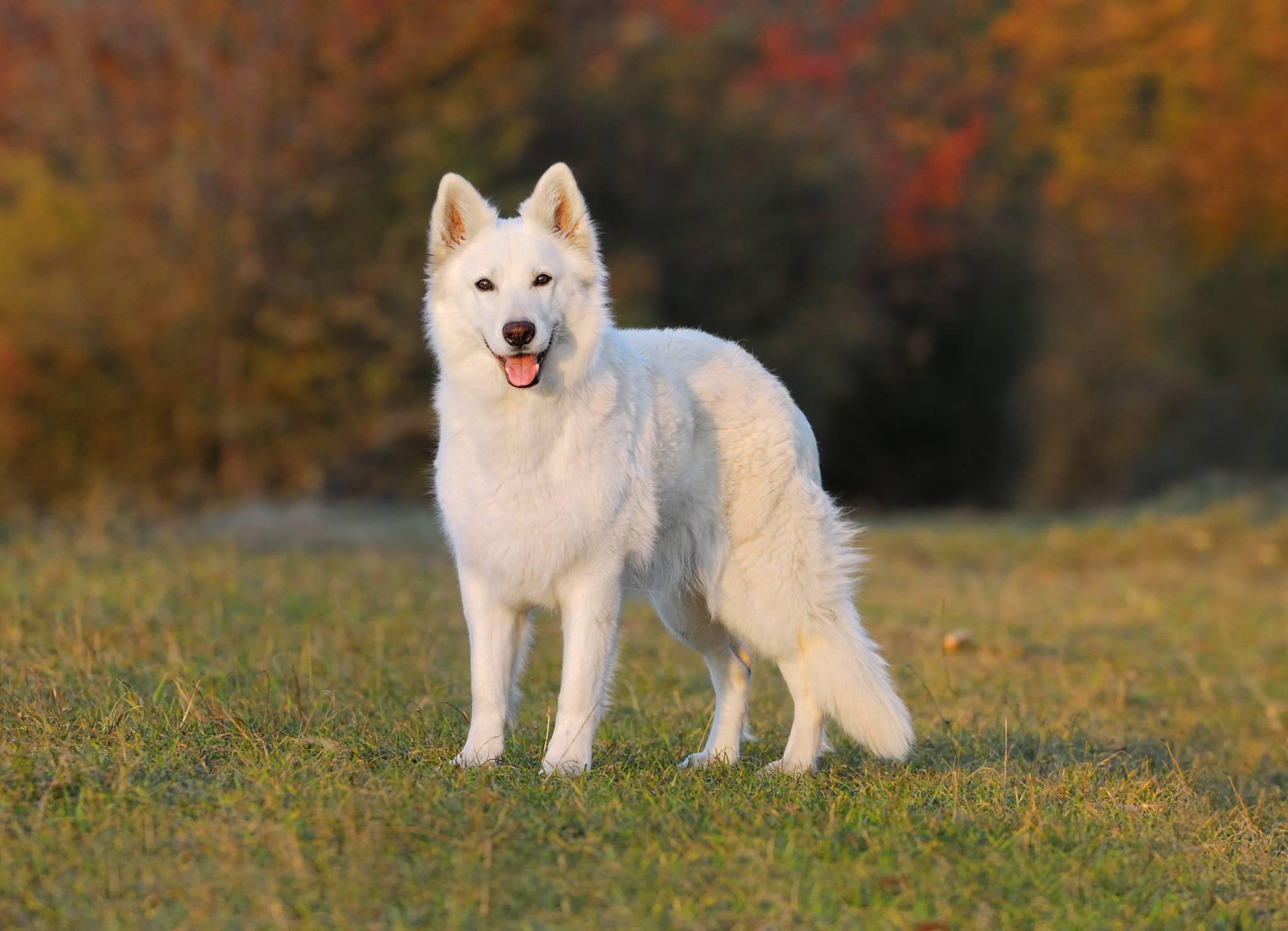 Белая швейцарская овчарка: описание породы, характеристика, фото