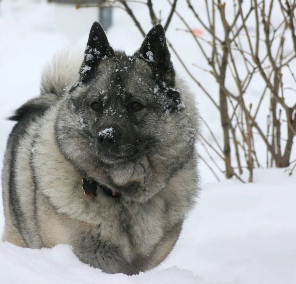 Характеристика собак породы норвежский элкхаунд с отзывами и фото