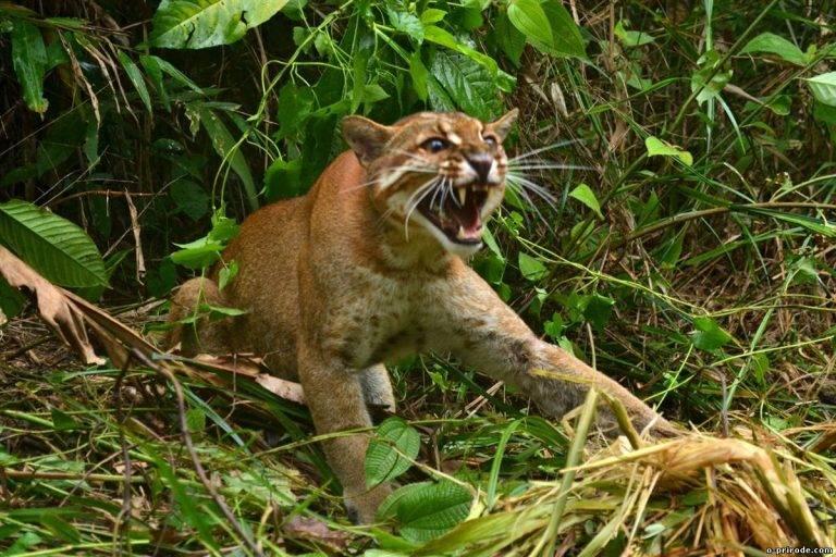 Дикий африканский кот — маленький, но храбрый хищник