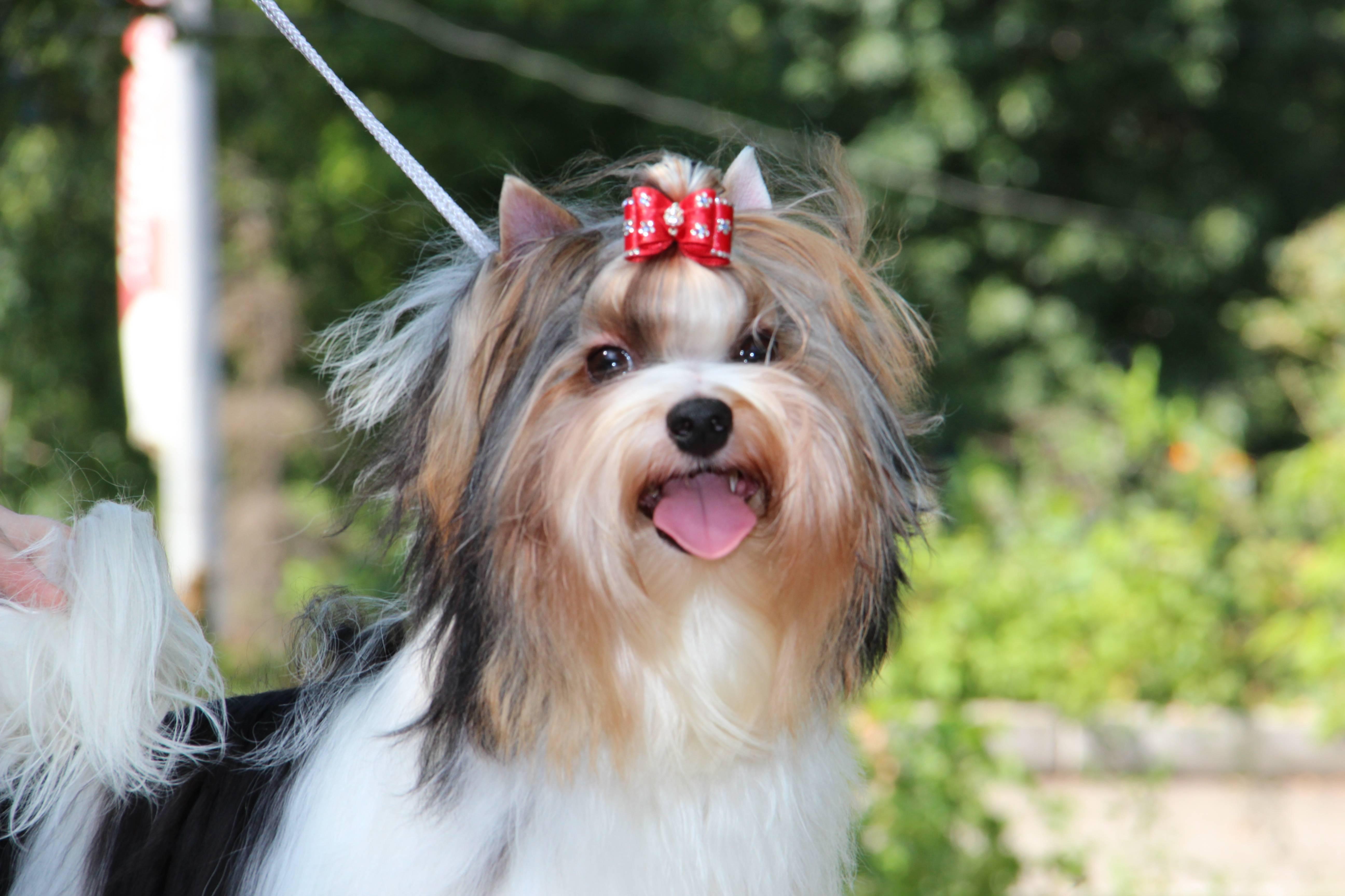 Бивер йорк. о породе собак: описание породы бивер йорк, цены, фото, уход
