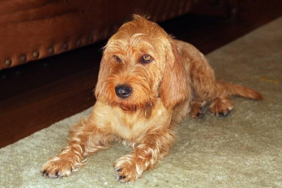 Рыжий бретонский бассет: описание породы собак с фото и видео