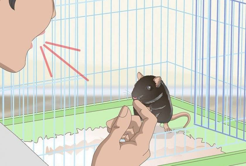 Как дрессировать крыс? дрессировка в домашних условиях. как приучить к рукам? особенности воспитания декоративных крыс