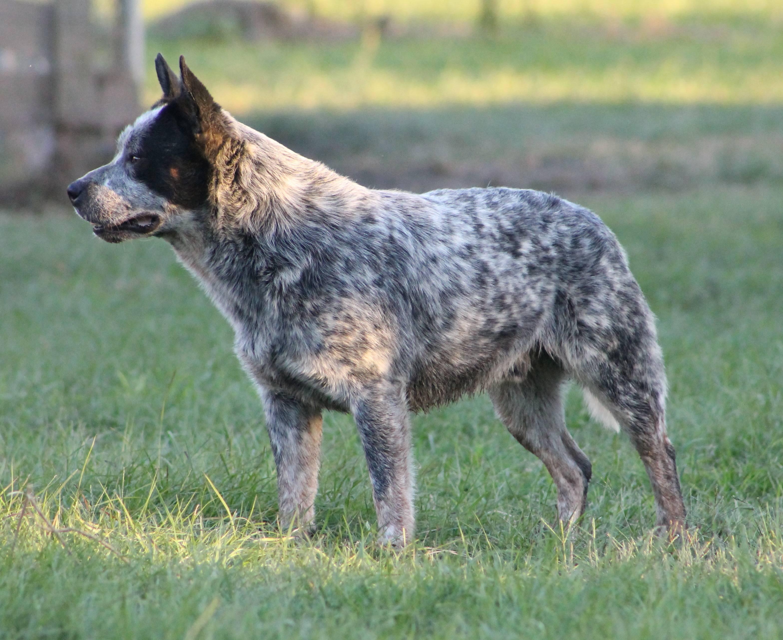 Австралийский хилер (австралийская пастушья собака ( australian cattle dog  ), голубой хилер, австралийский кеттл дог)