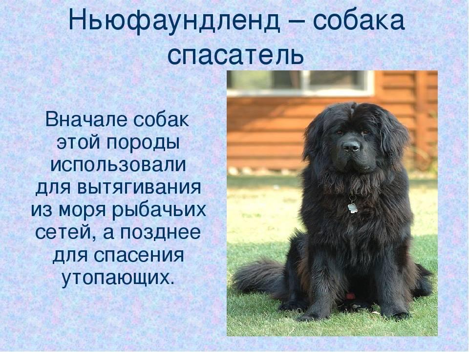 Ньюфаундленд (водолаз): описание породы собак, выбор щенка и цены