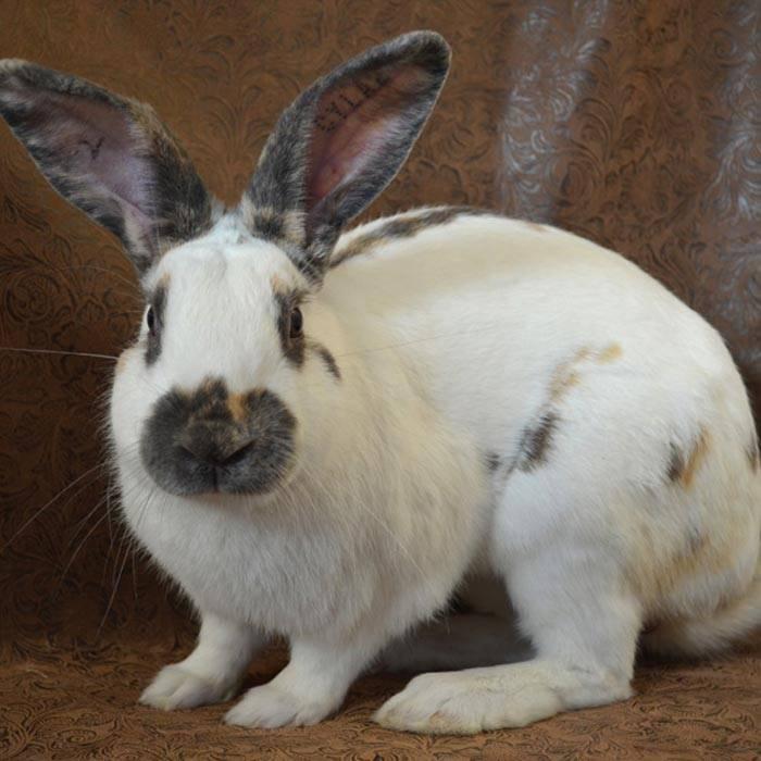 Все, что нужно знать о кроликах породы бабочка