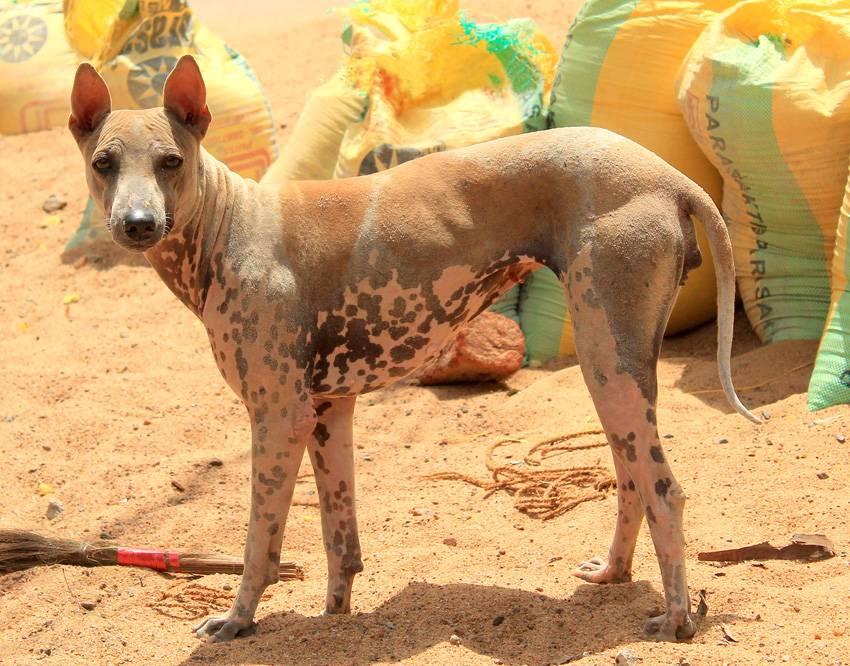 Самые редкие породы собак в мире. топ-10