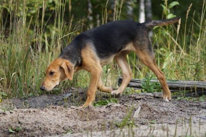 Как тренировать гончих собак?