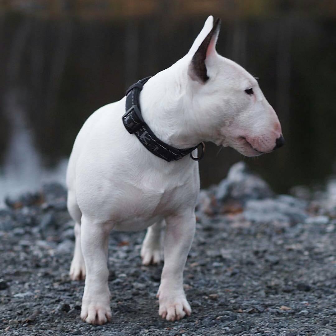 Собака с крысиной мордой порода