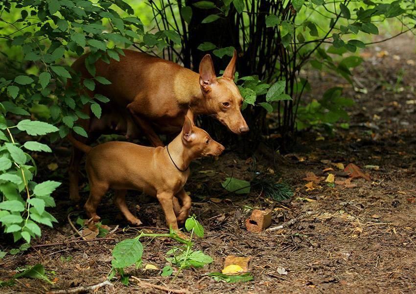 Чирнеко дель этна. о породе собак: описание породы чирнеко дель этна, цены, фото, уход