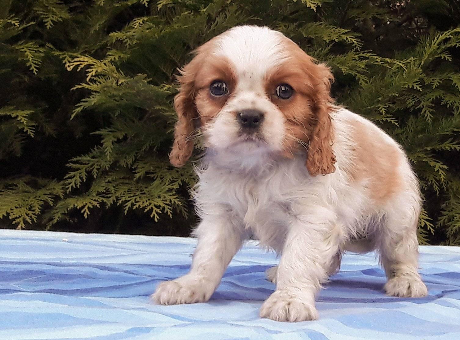Кавалер кинг чарльз спаниель собака. описание, особенности, уход и цена породы   sobakagav.ru