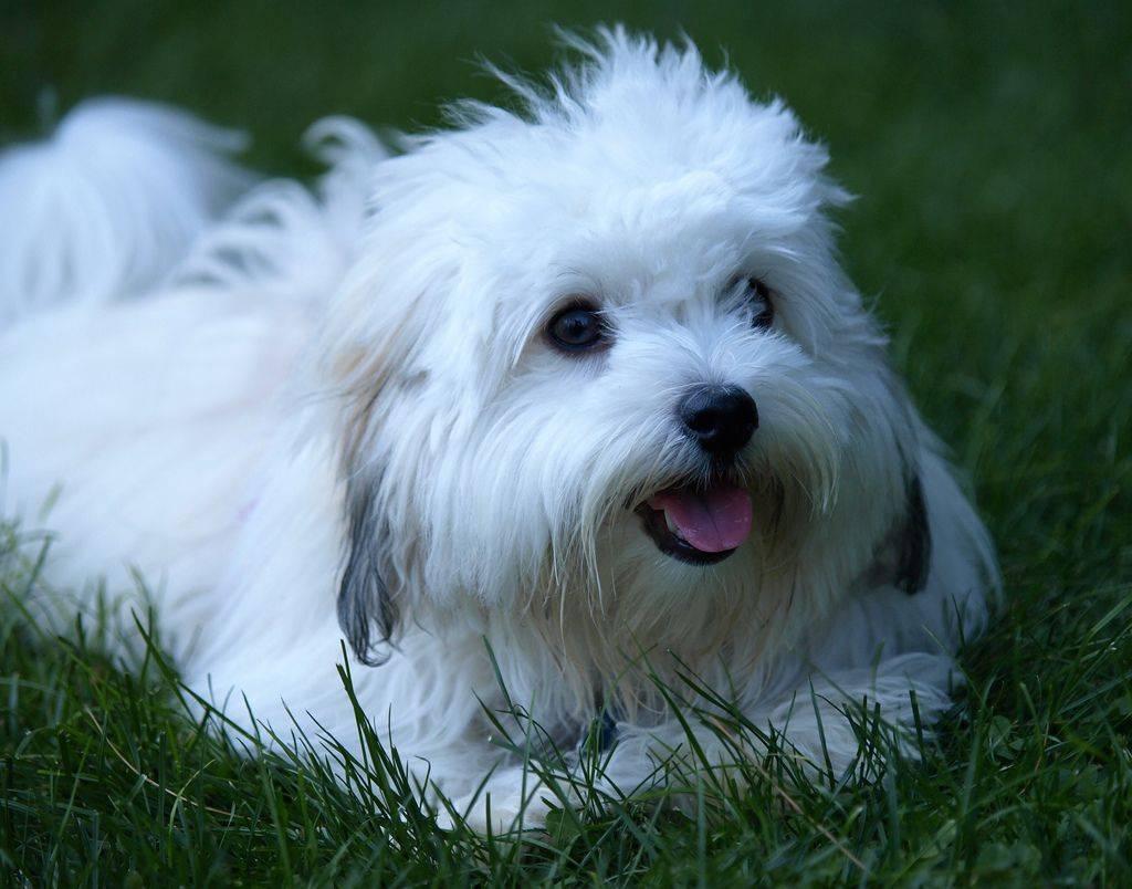 Котон-де-тулеар: описание породы собак с фото и видео