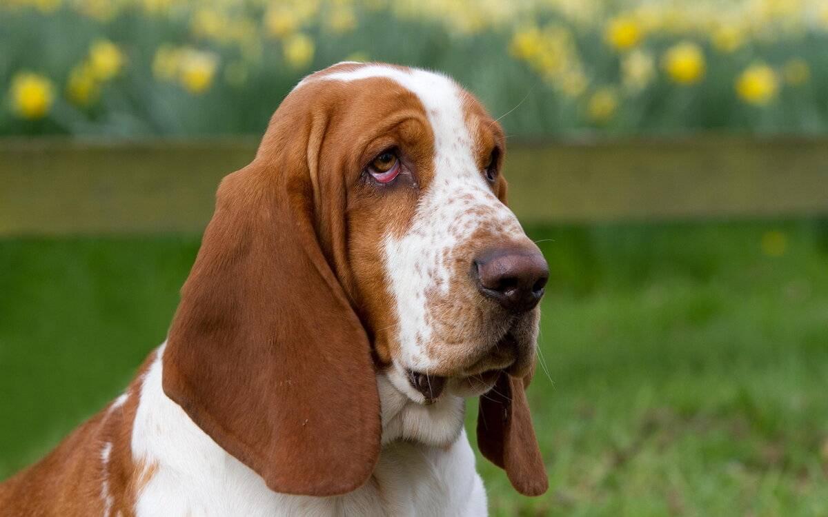 Породы собак с длинными (большими) ушами: названия, фото, описание