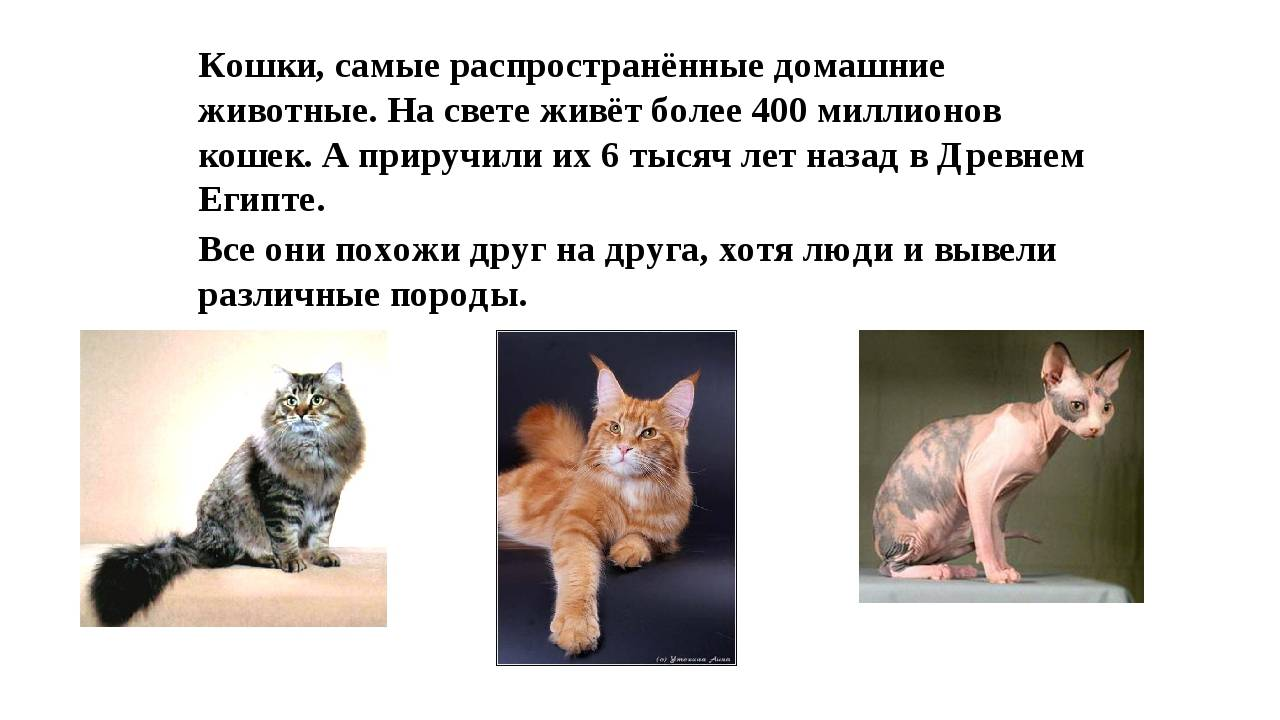 Кто лучше ловит мышей – кот или кошка, какой породы, будет ли охотиться кастрированное животное?