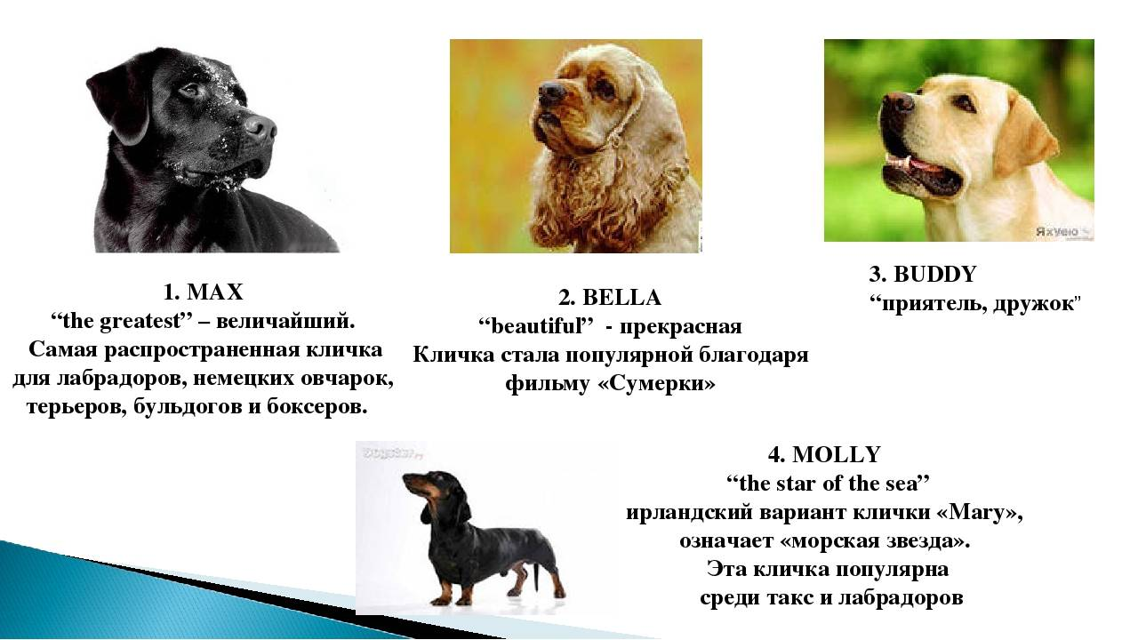 Список самых красивых английских и американских кличек для собаки