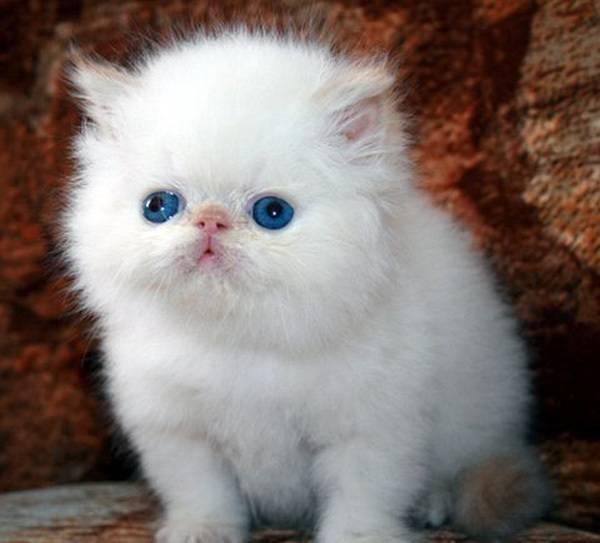 Какие существуют породы белых кошек с голубыми глазами