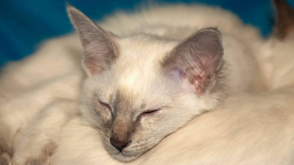 Балинезийская (балинез) кошка: подробное описание, фото, купить, видео, цена, содержание дома