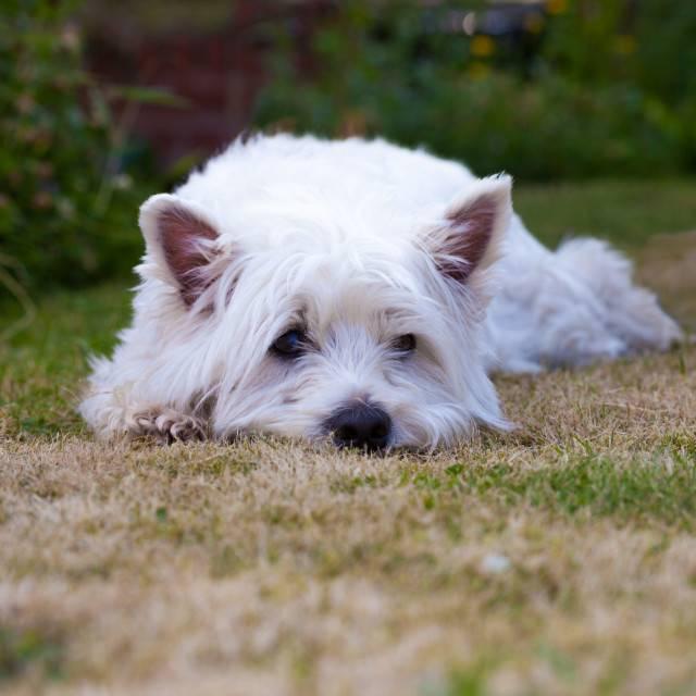 Темперамент и характеристика породы собак вест хайленд уайт терьер