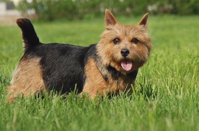 Норвич-терьер - описание и характер собаки, воспитание щенков, особенности питания и генетические болезни
