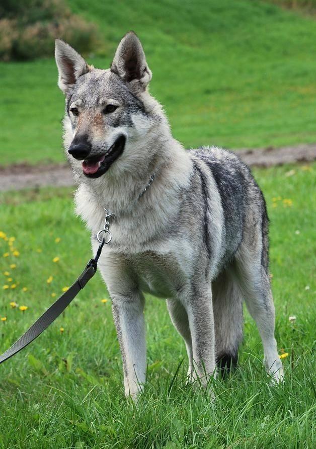 Чехословацкая волчья собака — википедия