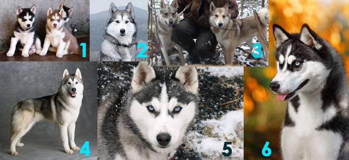 Одинаковые ли лайки и хаски: как отличить породы собак по внешнему виду
