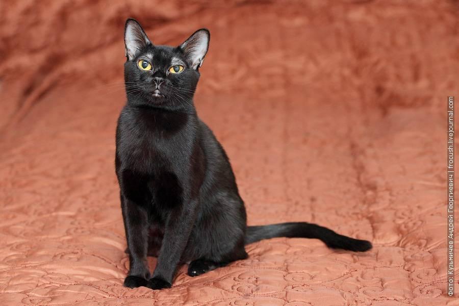 Короткошерстные породы кошек: названия и фото