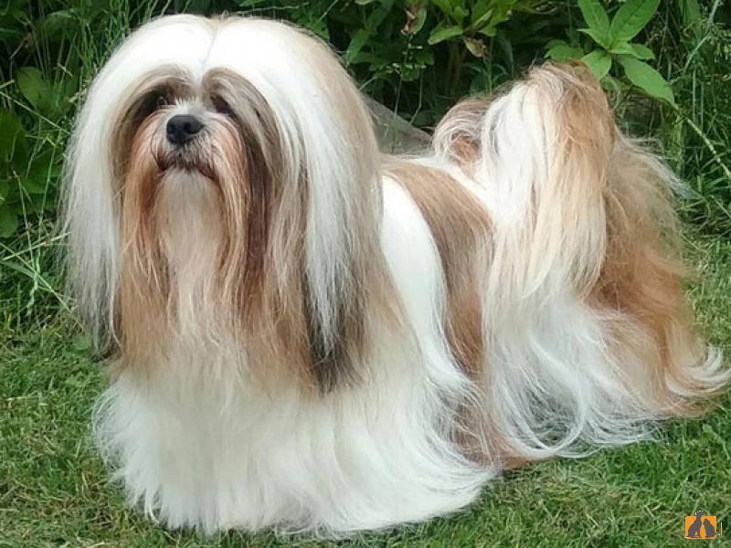 Лхаса апсо: описание породы и характеристика, особенности ухода, стоимость щенка и разведение