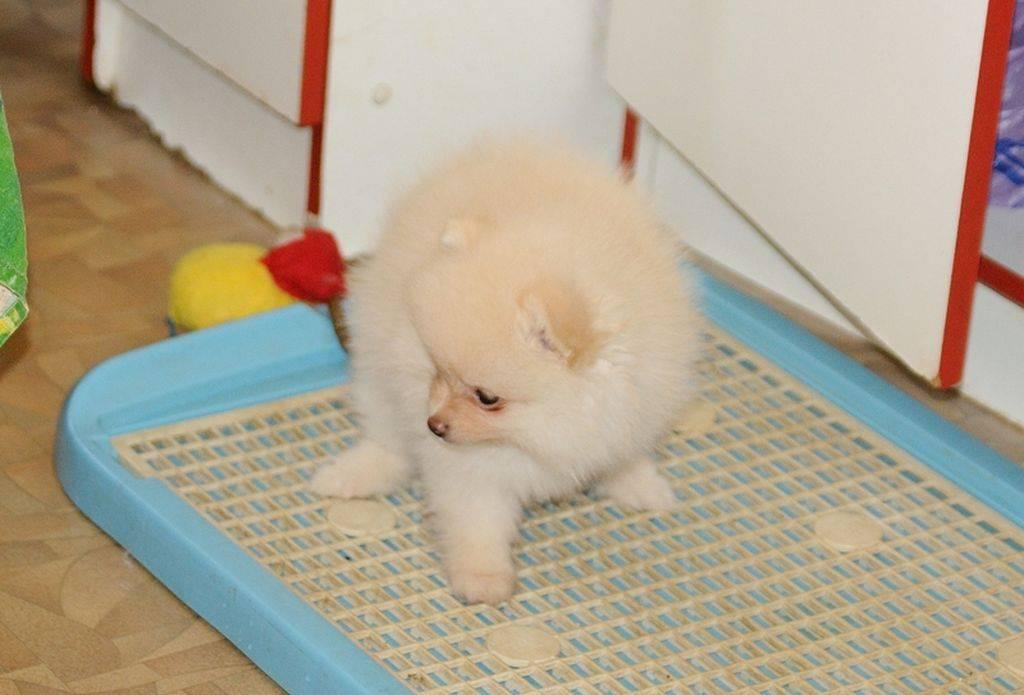 "Как приучить собаку ходить в туалет на пелёнку? | блог ветклиники ""беланта"""