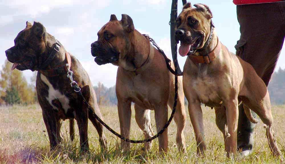 Подробное описание породы собак испанский алано или испанский бульдог