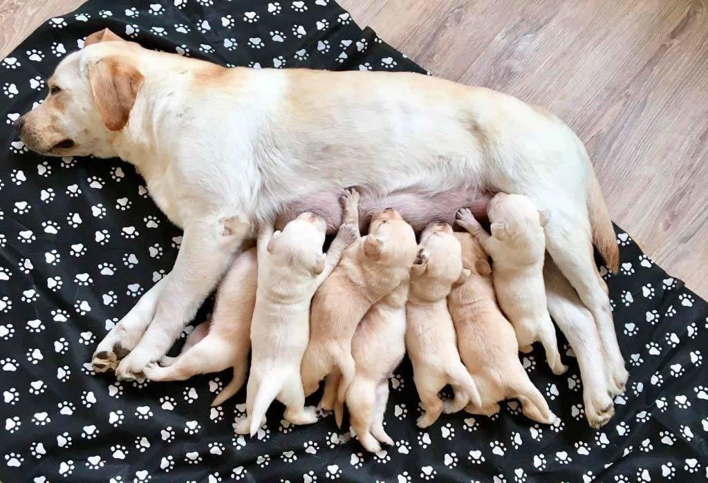 Ложная беременность у собак: симптомы, чем лечить, сколько длится, что делать | zoosecrets