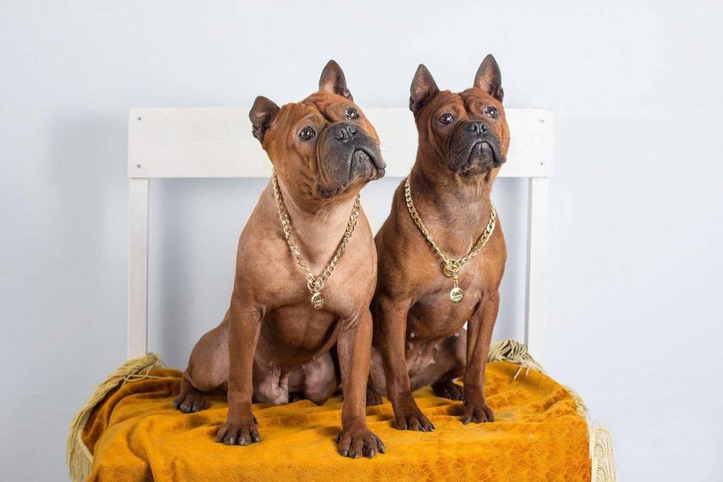 Китайский бульдог чунцин: фото, описание и характеристики породы собак, содержание и уход