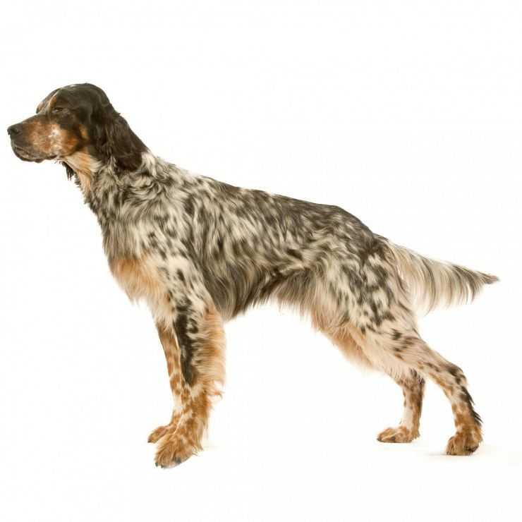Английский сеттер — подробное описание истории и характера породы. все от а до я о собаке с утонченной внешностью (фото + отзывы)