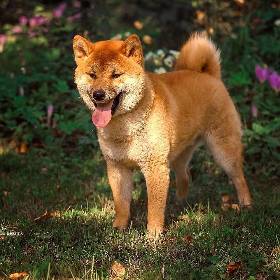 Сиба-ину: описание, характер породы, японская порода собак
