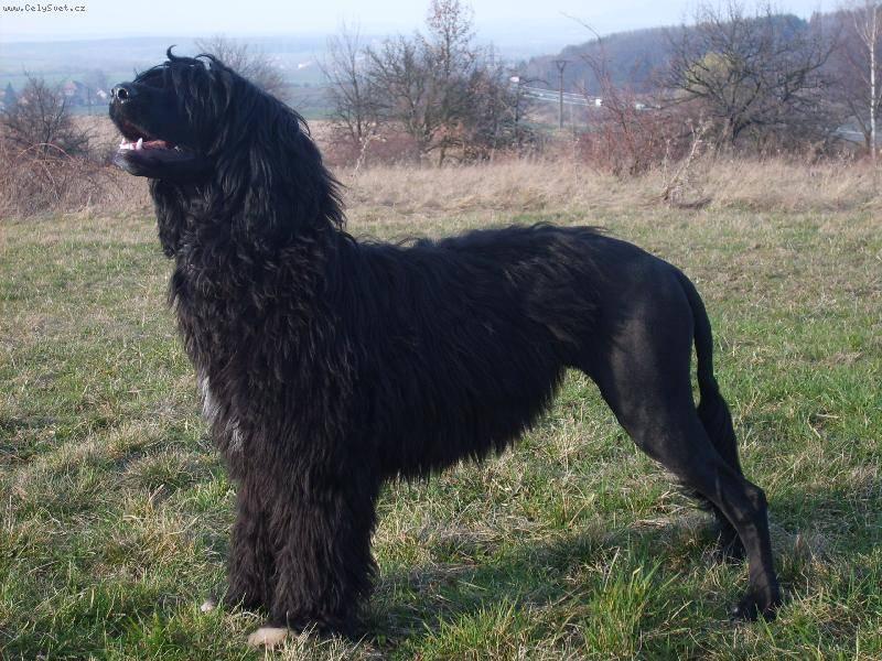 Информация о породе португальская водяная собака и особенностях ее характера | хиллс
