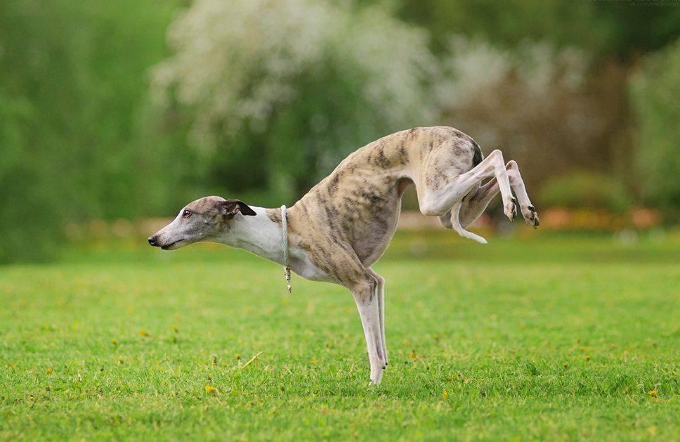 Порода уиппет: описание, характеристика и уход, фото | все о собаках