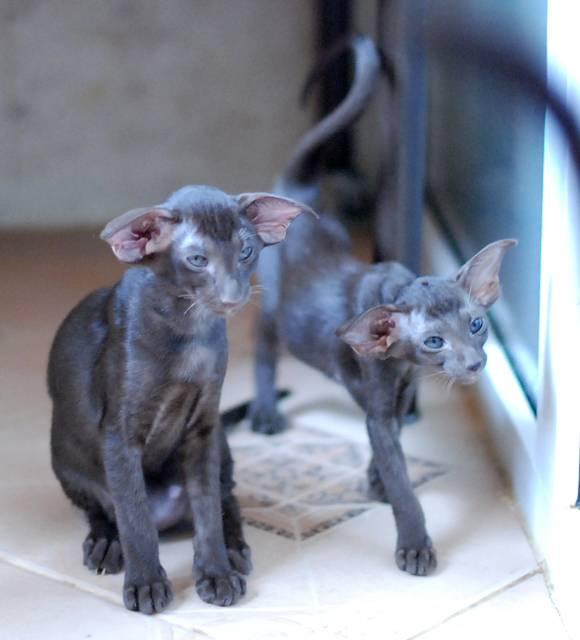 Коты метис