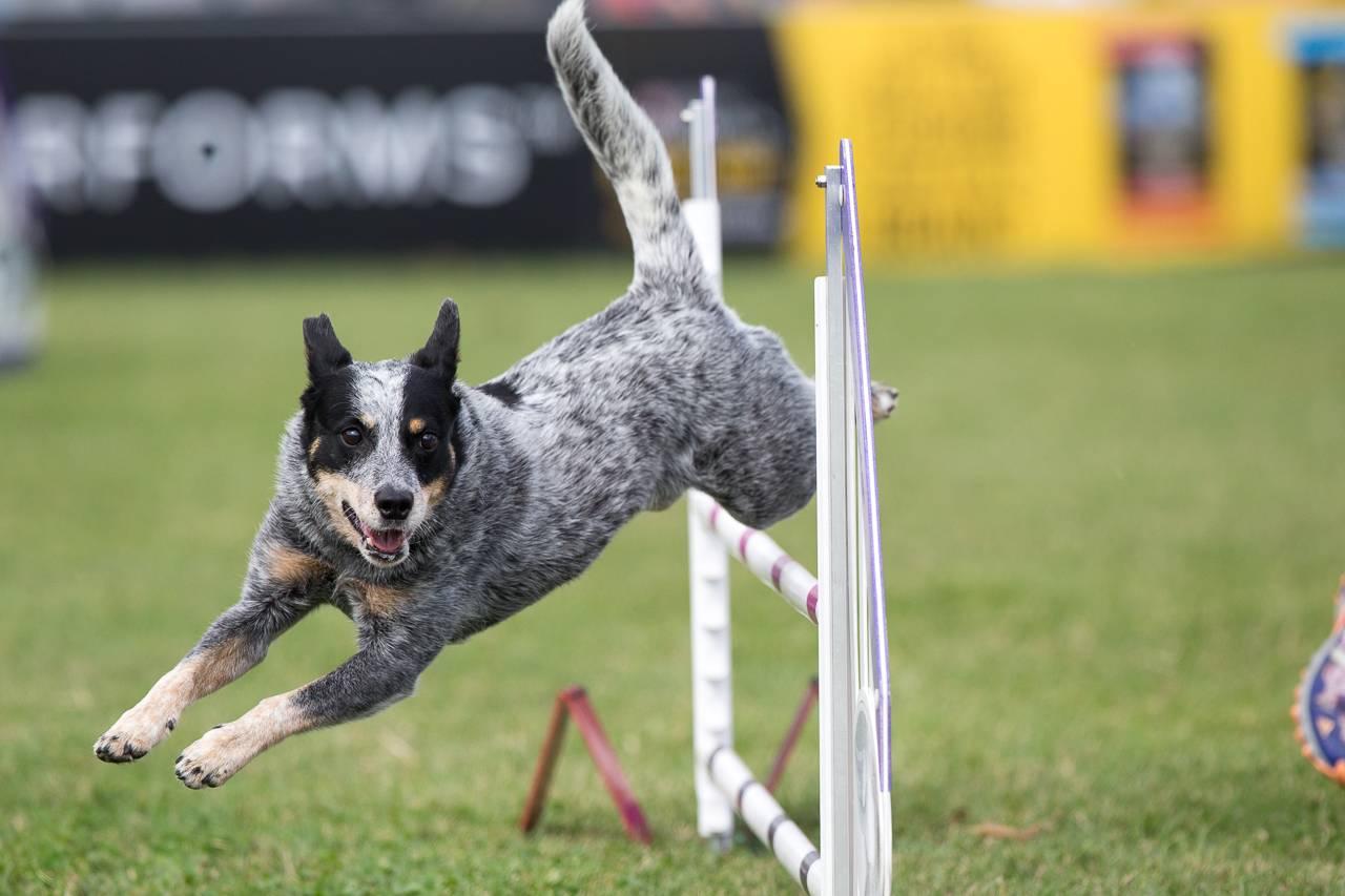 Особенности австралийской пастушьей собаки: стандарт хилеров и другое