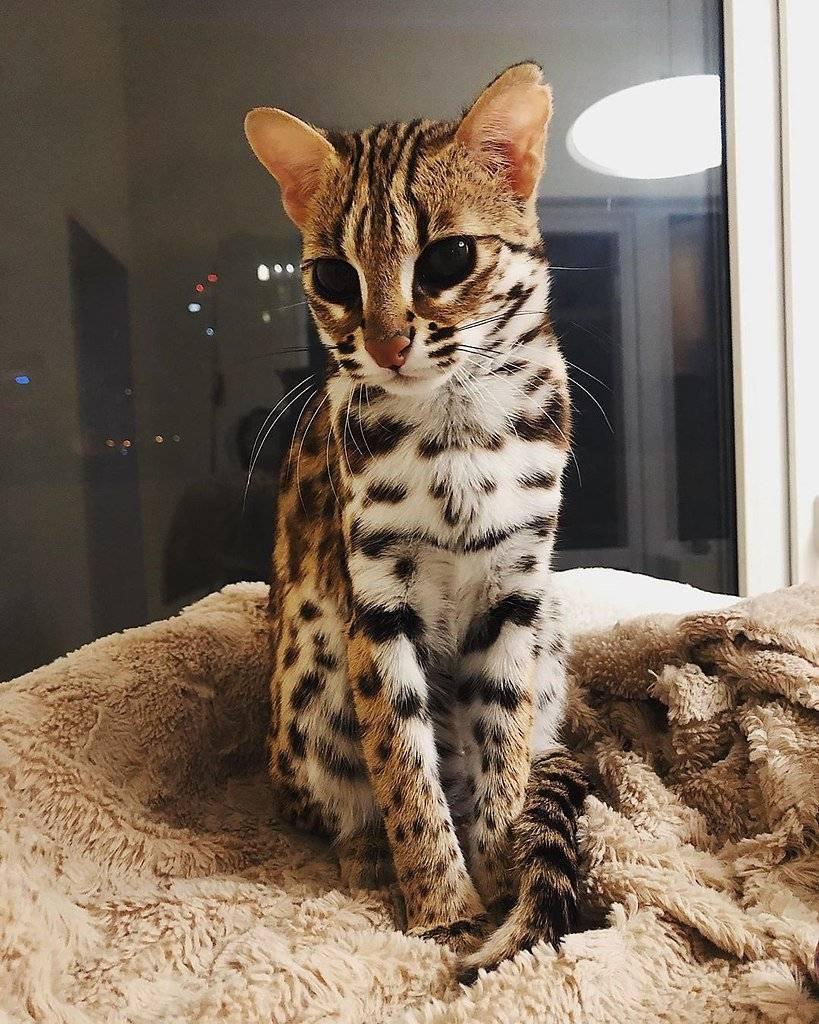 Леопардовая кошка: порода, цена, окрас | кот, похожий на леопарда