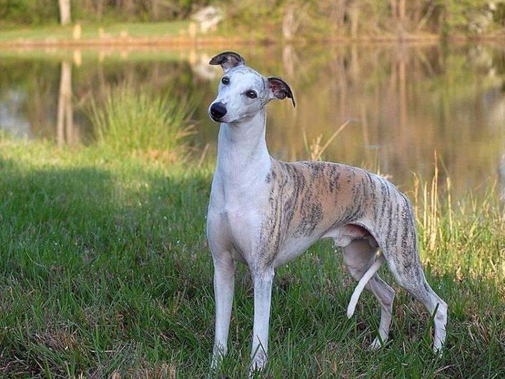 Уиппет или малая английская борзая: фото и описание породы собак уиппет или малая английская борзая: фото и описание породы собак