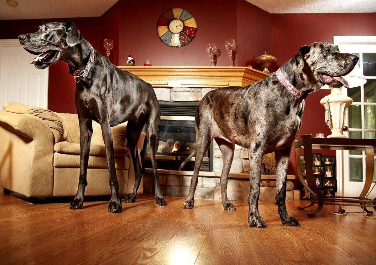 Породы собак для квартиры – 15 лучших вариантов